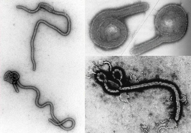 Souches du virus Ebola