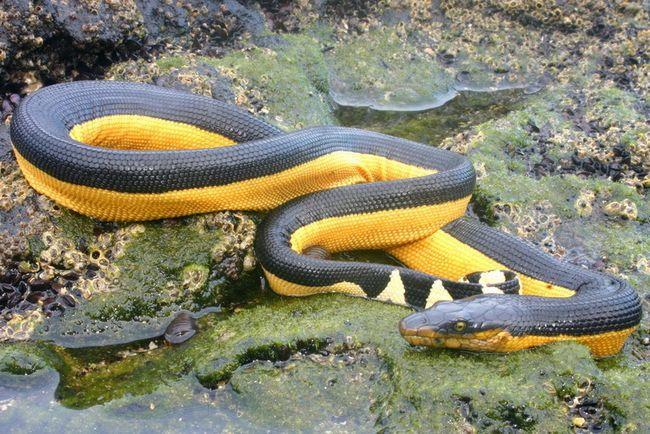 serpents dangereux australie
